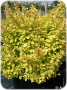 Berberis_thunber_4990bb24238cd.png